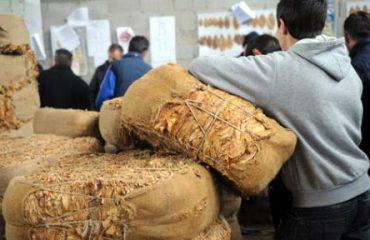 Расте откупната цена на тутунот - 214,8 денари за килограм