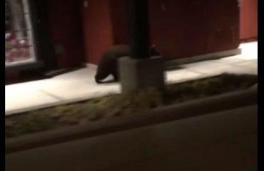 Мечки трчаа низ трговски центар во Калифорнија