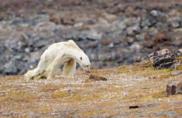 Видео што го расплаче светот: Еве како изгледа поларна мечка што гладува
